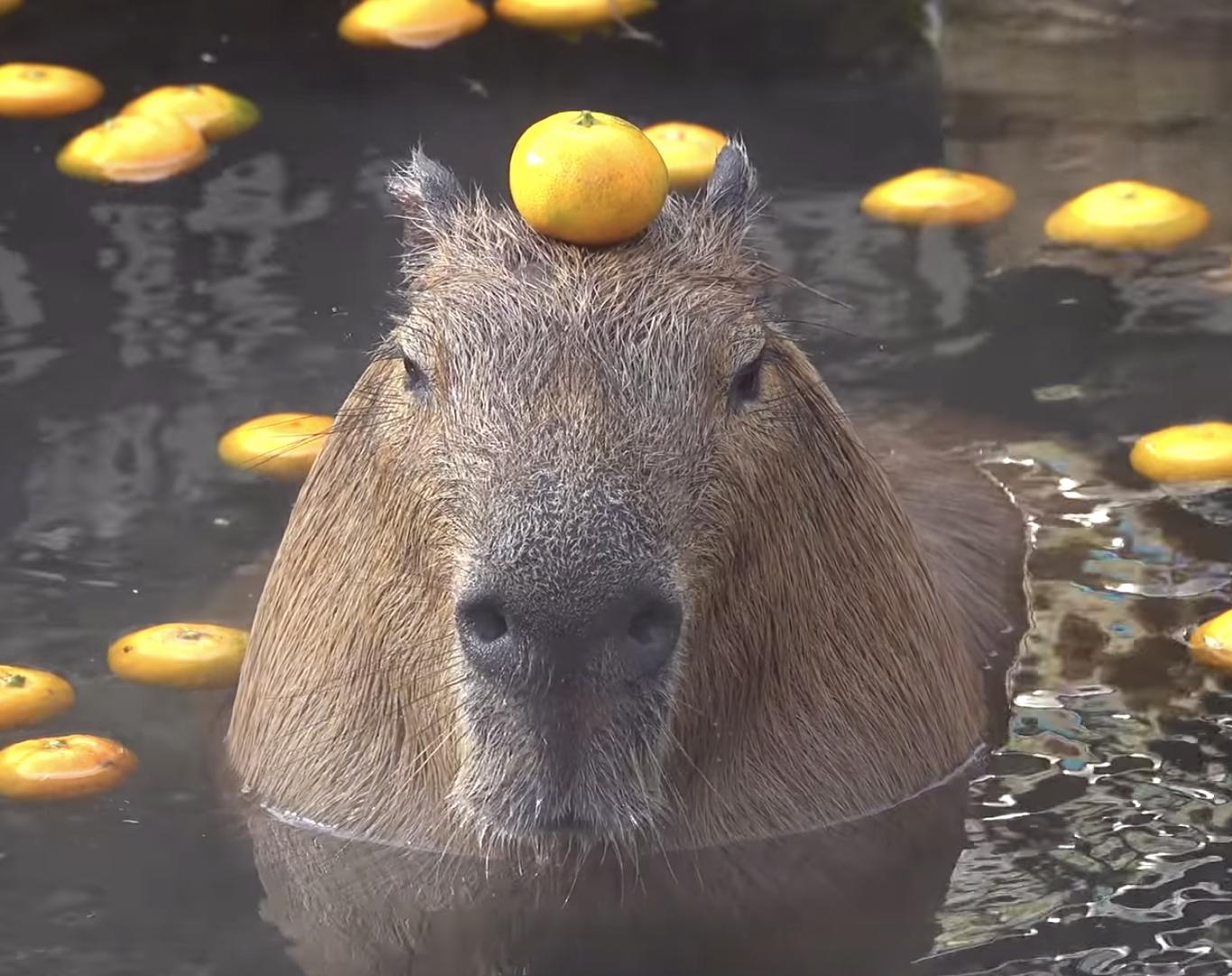 気持ちよさそうに温泉に入るカピバラの動画一覧